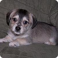 Adopt A Pet :: Zorro - La Habra Heights, CA