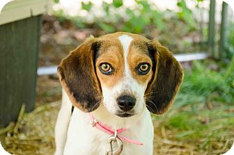 Beagle Dog for adoption in Bedminster, New Jersey - Baylee
