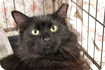 Domestic Mediumhair Cat for adoption in Lombard, Illinois - Tucson
