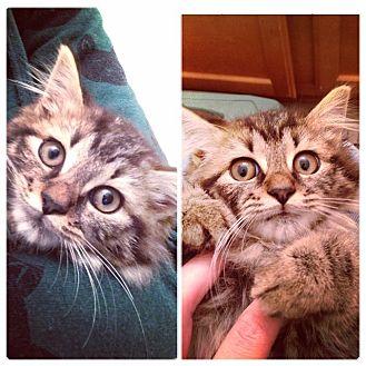 Domestic Longhair Kitten for adoption in Gainesville, Florida - Kittney Spears