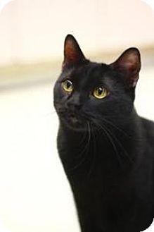 Domestic Shorthair Cat for adoption in Yukon, Oklahoma - Hubert