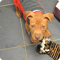 Adopt A Pet :: Malcolm - Reisterstown, MD