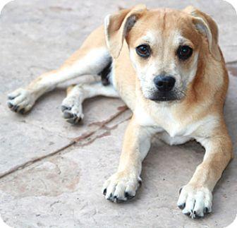 Labrador Retriever/Terrier (Unknown Type, Small) Mix Dog for adoption in Allentown, Pennsylvania - Brad Pitt