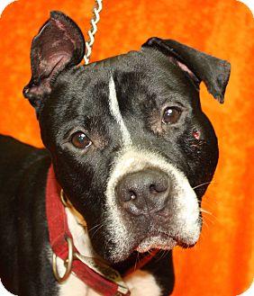 Pit Bull Terrier Mix Dog for adoption in Jackson, Michigan - Loki
