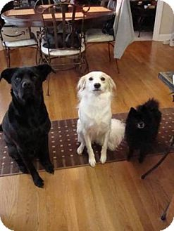 Pomeranian Dog for adoption in Decatur, Georgia - Roxy NEEDS FOSTER BY 10/31