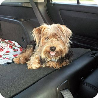 Yorkie, Yorkshire Terrier Mix Puppy for adoption in Lucknow, Ontario - Spencer