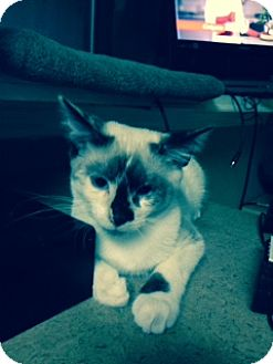 Siamese Cat for adoption in Kennedale, Texas - Spat