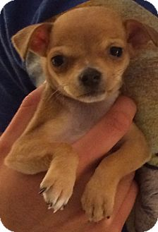 Chihuahua/Terrier (Unknown Type, Small) Mix Puppy for adoption in San Francisco, California - Chip