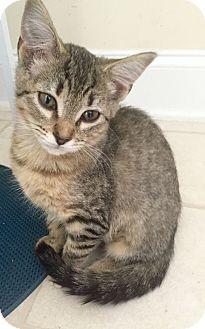 Domestic Shorthair Kitten for adoption in Charlotte, North Carolina - A..  Susannah