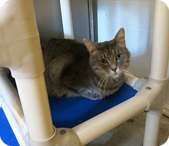 Domestic Shorthair Cat for adoption in Geneseo, Illinois - Dash