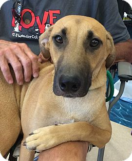 Shepherd (Unknown Type)/Labrador Retriever Mix Dog for adoption in Olive Branch, Mississippi - Riley Super Dog!