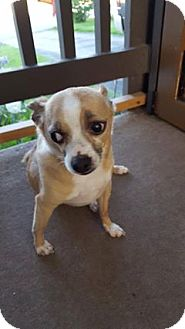 Chihuahua Dog for adoption in Calgary, Alberta - TOBI