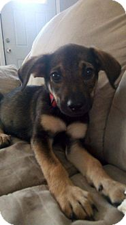 Shepherd (Unknown Type) Mix Puppy for adoption in Columbus, Ohio - Johnny