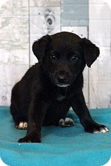 Labrador Retriever Mix Puppy for adoption in Waldorf, Maryland - Colada ADOPTION PENDING