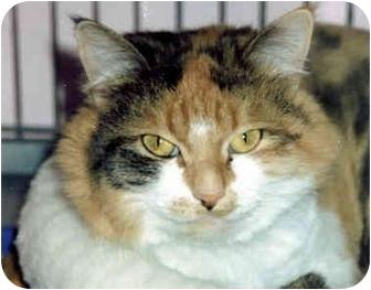 Domestic Longhair Cat for adoption in Medway, Massachusetts - C.C.