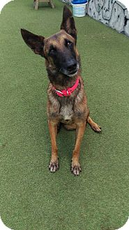 Belgian Malinois Dog for adoption in Cape Coral, Florida - Jimmy