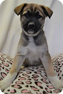 Siberian Husky/German Shepherd Dog Mix Puppy for adoption in Michigan City, Indiana - Mona