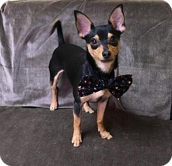 Chihuahua/Miniature Pinscher Mix Dog for adoption in Philadelphia, Pennsylvania - Shawn