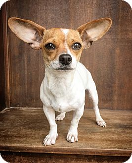 Rat Terrier/Chihuahua Mix Dog for adoption in Fredericksburg, Texas - Vera