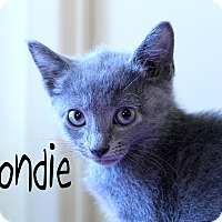 Domestic Shorthair Kitten for adoption in Wichita Falls, Texas - Blondie