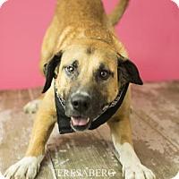 Anatolian Shepherd Mix Dog for adoption in Dallas, Texas - Luke Skybarker
