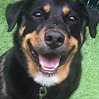 Rottweiler Mix Dog for adoption in Hillsboro, New Hampshire - Max