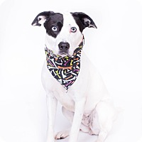 Adopt A Pet :: Layla - New Castle, PA