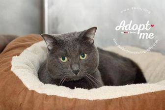 Domestic Shorthair/Domestic Shorthair Mix Cat for adoption in Lindenwold, New Jersey - Buddy