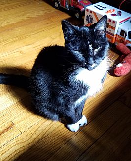 Domestic Mediumhair Cat for adoption in Chicago, Illinois - Dinah