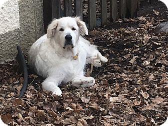 Great Pyrenees Dog for adoption in Minneapolis, Minnesota - Clark