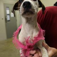 American Bulldog Mix Dog for adoption in Cleveland, Alabama - 36117496