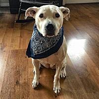 Adopt A Pet :: Angel - Vienna, VA