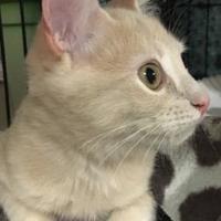 Adopt A Pet :: Khaleesi - Schertz, TX