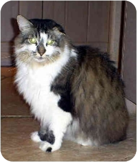 Domestic Longhair Cat for adoption in Marina del Rey, California - Cleo
