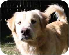 Golden Retriever Mix Dog for adoption in Okotoks, Alberta - Phoenix
