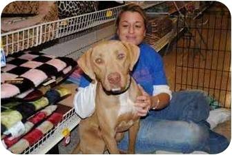 Weimaraner/Rhodesian Ridgeback Mix Dog for adoption in Fort Worth, Texas - Winnie