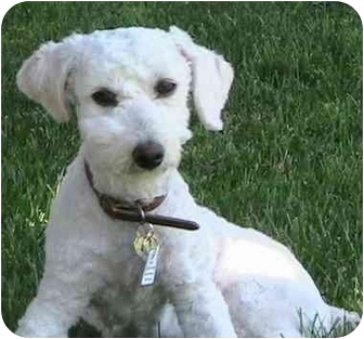 Poodle (Miniature) Mix Dog for adoption in Poway, California - LUCY