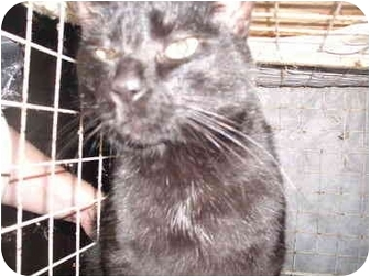 American Shorthair Cat for adoption in Wooster, Ohio - Slick