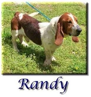 Basset Hound Dog for adoption in Marietta, Georgia - Randy