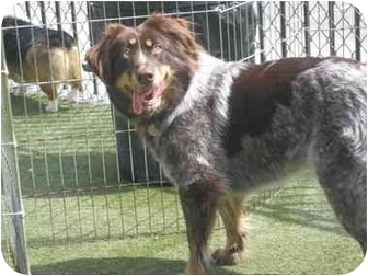 Border Collie/Australian Shepherd Mix Dog for adoption in Overland Park, Kansas - lily