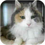 Domestic Longhair Cat for adoption in San Clemente, California - HOLLAND