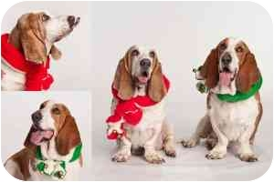 Basset Hound Dog for adoption in Folsom, Louisiana - Maynard