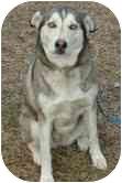 Husky Mix Dog for adoption in Portland, Maine - Cyprus