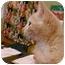 Photo 1 - Domestic Shorthair Kitten for adoption in Erie, Pennsylvania - Nick