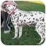 Photo 2 - Dalmatian Dog for adoption in Turlock, California - Mona