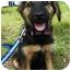 Photo 1 - Shepherd (Unknown Type) Mix Puppy for adoption in Detroit, Michigan - Vanna-Pending