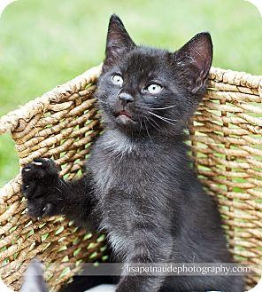 Domestic Shorthair Kitten for adoption in Worcester, Massachusetts - Jack