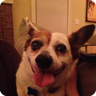 Corgi/Jack Russell Terrier Mix Dog for adoption in Worcester, Massachusetts - Cookie