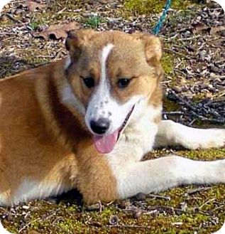 Collie Mix Puppy for adoption in Salem, New Hampshire - WILLOW
