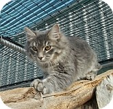 Domestic Mediumhair Cat for adoption in Silver City, New Mexico - Sun Smoke